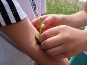 ... hier hilft der Spitzwegerich bei Insektenstichen